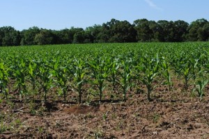Dryland corn is up and going strong in the Big  Bend Region.