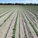 Peanut planted 3 weeks ago on a dry-land field in Jackson County. Credit: Josh Thompson