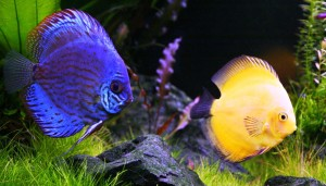 Florida is the leading producer of ornamental fish in the United States.