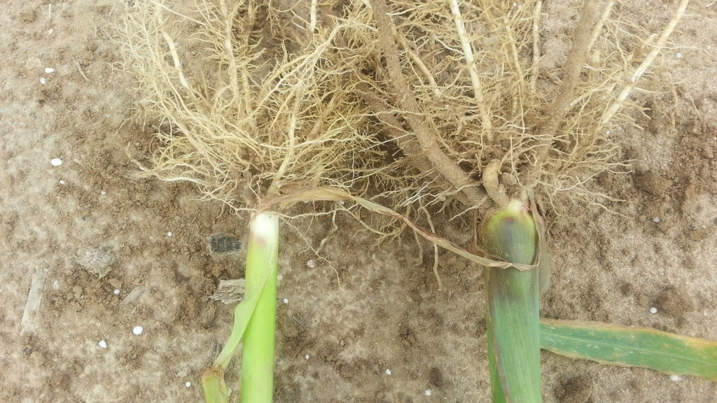 Comparison of a healthy plant to a weaker plant