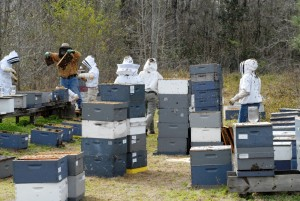 Sometimes escalating feeding frenzy can engulf the whole apiary, with bees from many hives robbing each other. Photo by: University of Florida Honey Bee research and Extension Lab