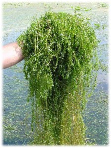 This non-native and highly invasive aquatic plant is one of the world's worst weeds.  Learn more about it to prevent its spread or establishment in your pond!