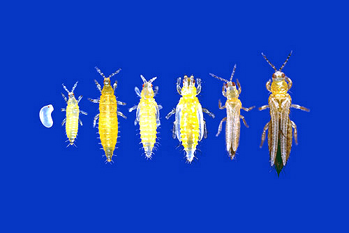Thrips at different stages of the life cycle