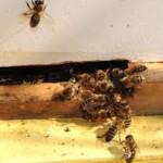 Managing Hive Robbing Behavior in Bees