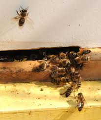 Guard Bees keep robber bees from entering the hive.  Kathy Keatly Garvey UC Davis
