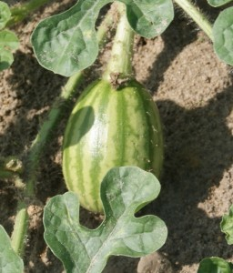 Newly Pollinated Melon. Credit Matthew Orwat