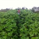 Mepiquat Timing on Cotton