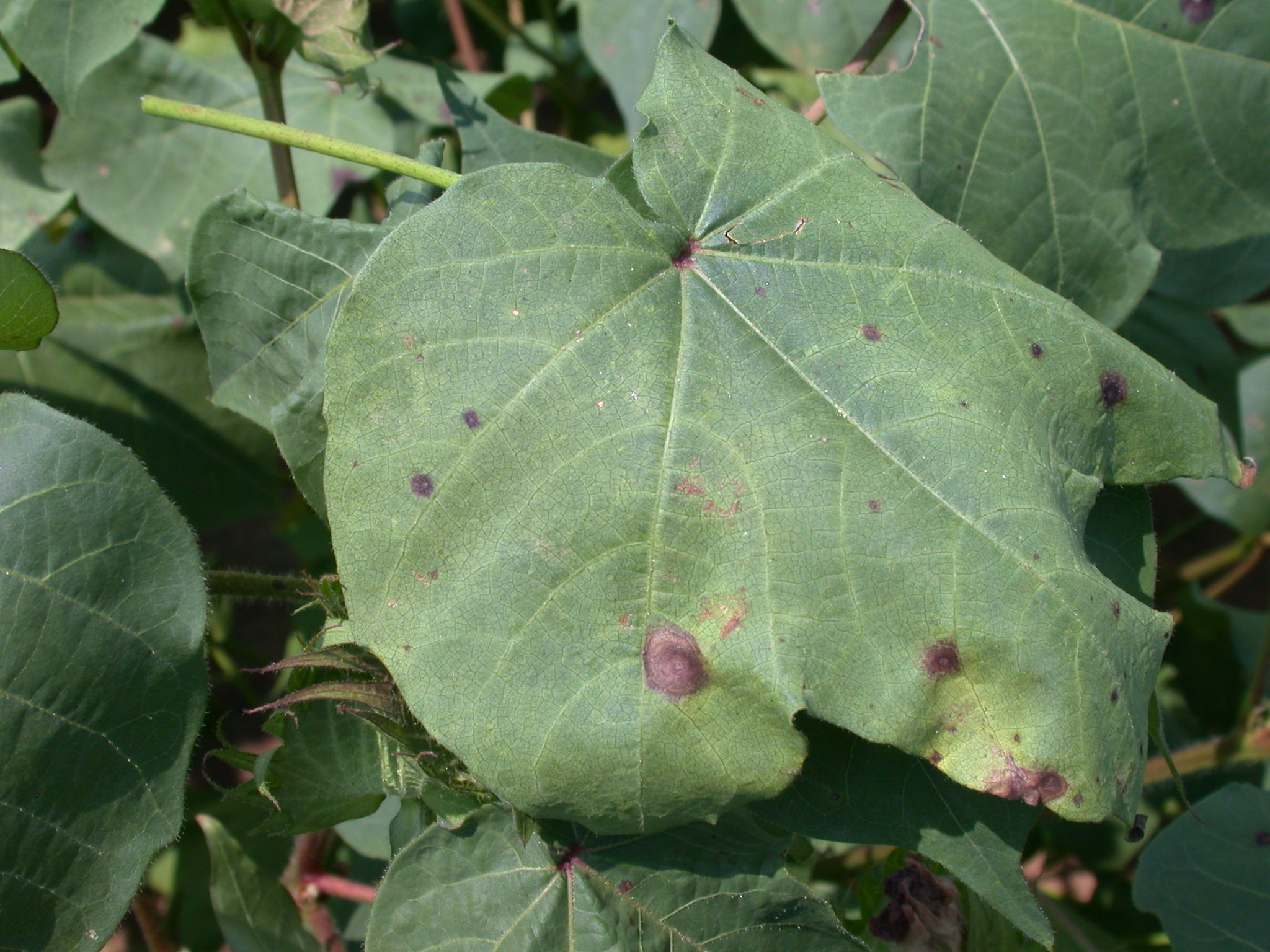 "Target spot is caused by the fungal pathogen Corynespora cassiicola. Leaf spots usually are up to ¼ to ½ inch in diameter and have a distinct ""target spot"" pattern with alternating light and dark brown bands of dead tissue."