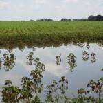 Has Excess Rain Affected your Cotton Fertility Program?