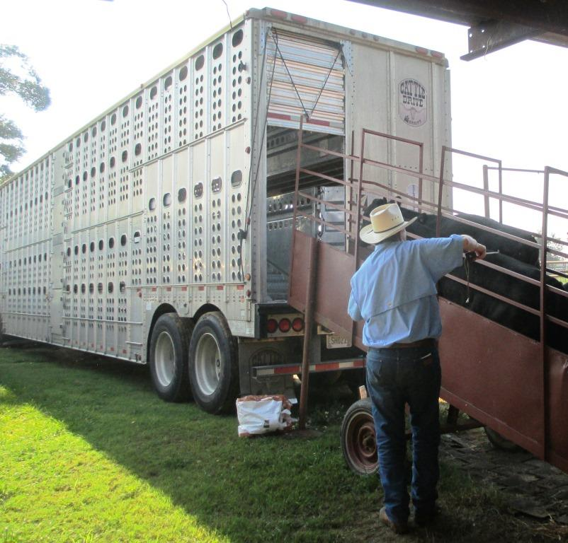 Herman Laramore loading a truck with 700 lb. steers at the Bar L Ranch near Marianna.