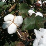 Atmore AL Cotton Production Meeting – February 14