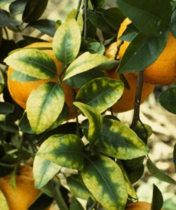 Magnesium Deficient Citrus