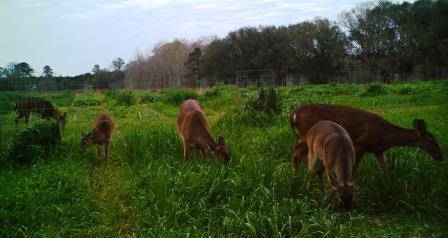 Food plots benefit deer year round, not just during hunting season.