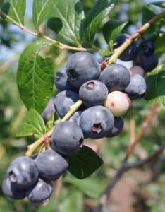 EDIS blueberry