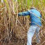 Sugarcane Field Day – November 7