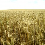 Wheat Production Considerations for 2014-2015