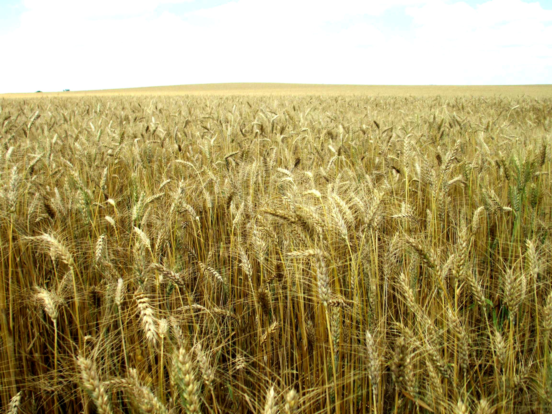 Wheat Production Considerations