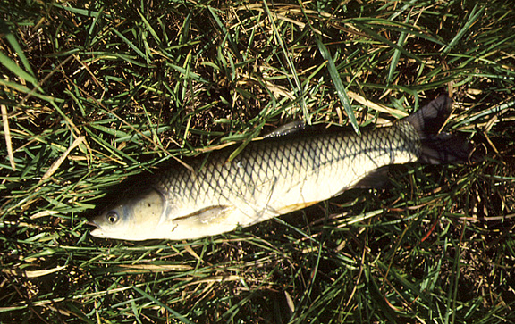 """Grass carp eat aquatic plants and are an example of """"biological control.""""  Photo courtesy of UF/IFAS Center for Aquatic and Invasive Plants."""