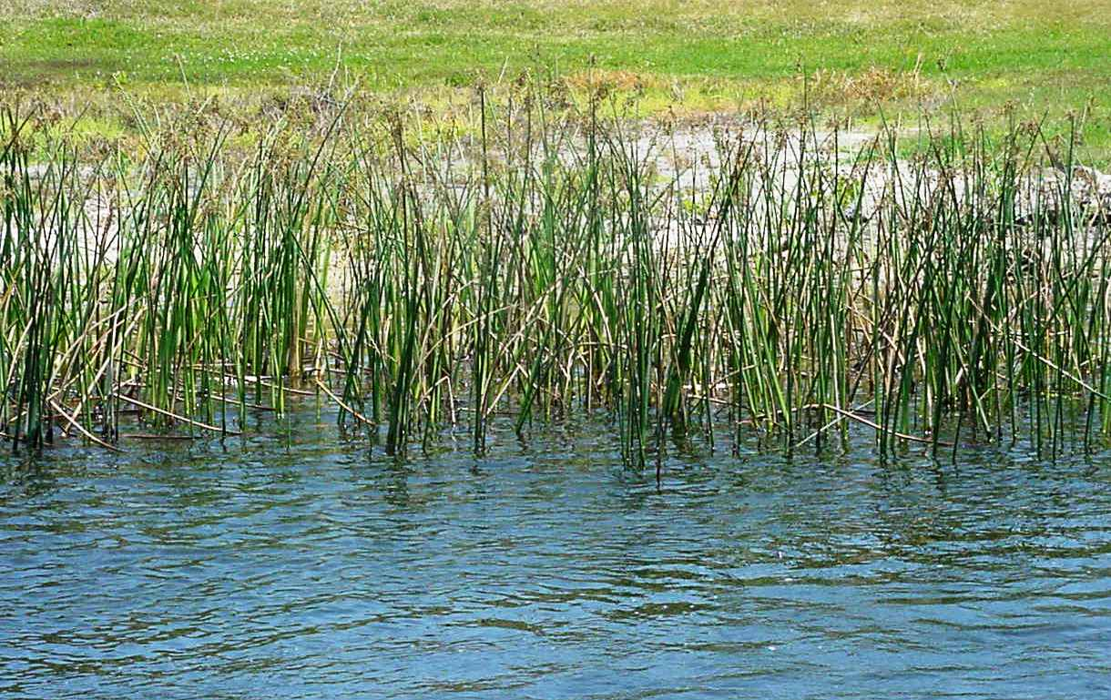 Make the most of your pond this year panhandle agriculture for Aquatic pond plants