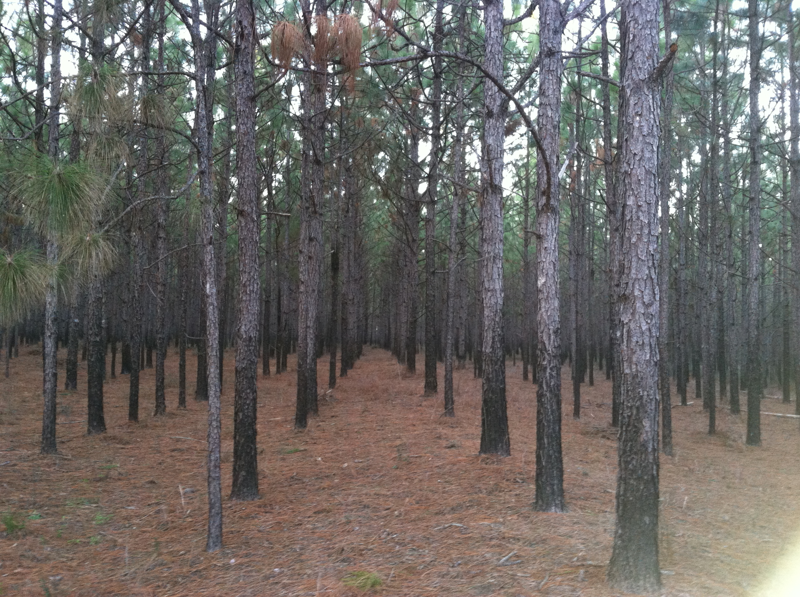 When should i thin my pine trees newsletters for Pine tree timber