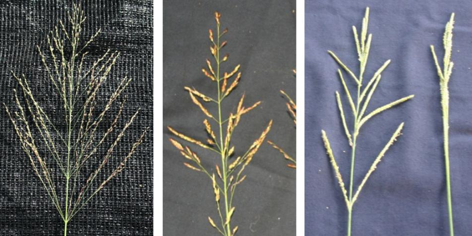 From left to right, guinea grass seedhead (Credits: Hunter Smith); johnsongrass seedhead (Credits: Brent Sellers); vaseygrass seedhead (Credits: Brent Sellers)