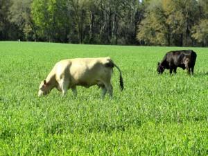 Winter Grazing Cows