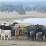 Hay Feeding (1024x587)