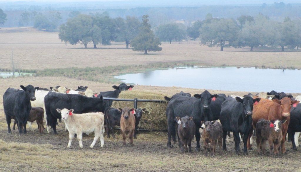 Winter Feeding Your Cowherd – Those Girls are Expensive