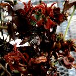 It's in Florida: Rose Rosette Virus, a Devastating Disease on Roses