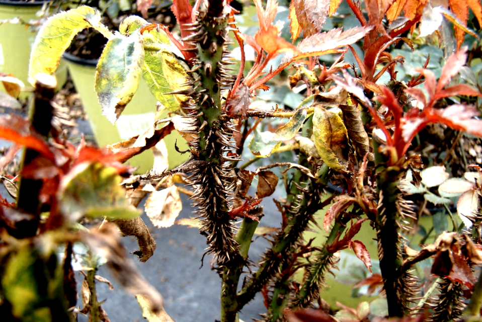 Severe thorn proliferation is characteristic to rose rosette disease.