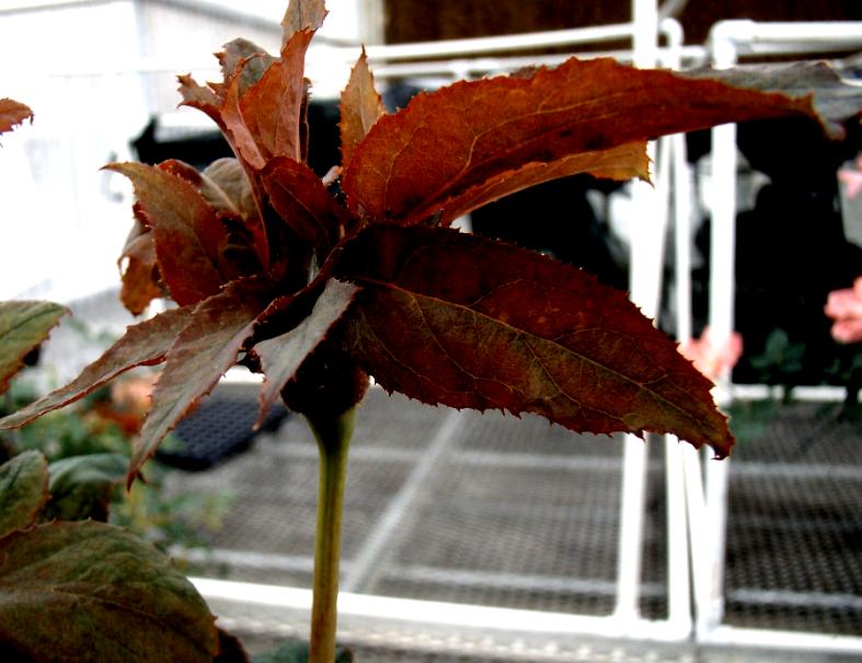 Distorted flower bud; leaf developing from flower bud tissue.