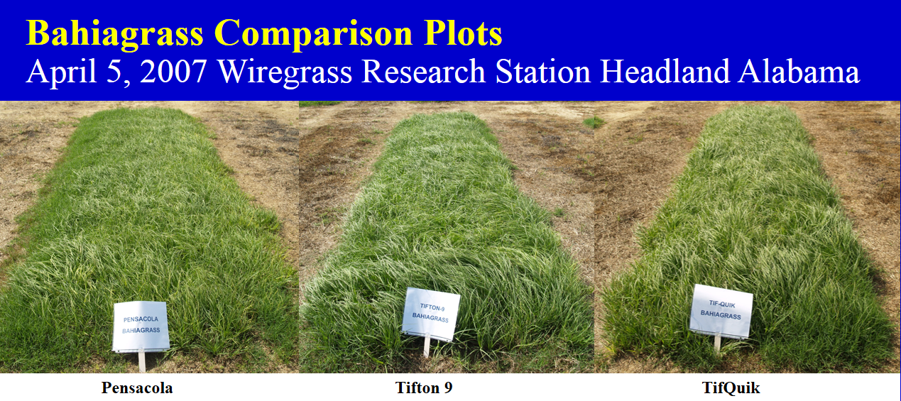 Demonstration Plots Show The Advatage Of Tifton 9 And Tifquik Over Original Pensacola Bahiagr