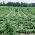 Herbicide Programs for Cotton and Peanuts