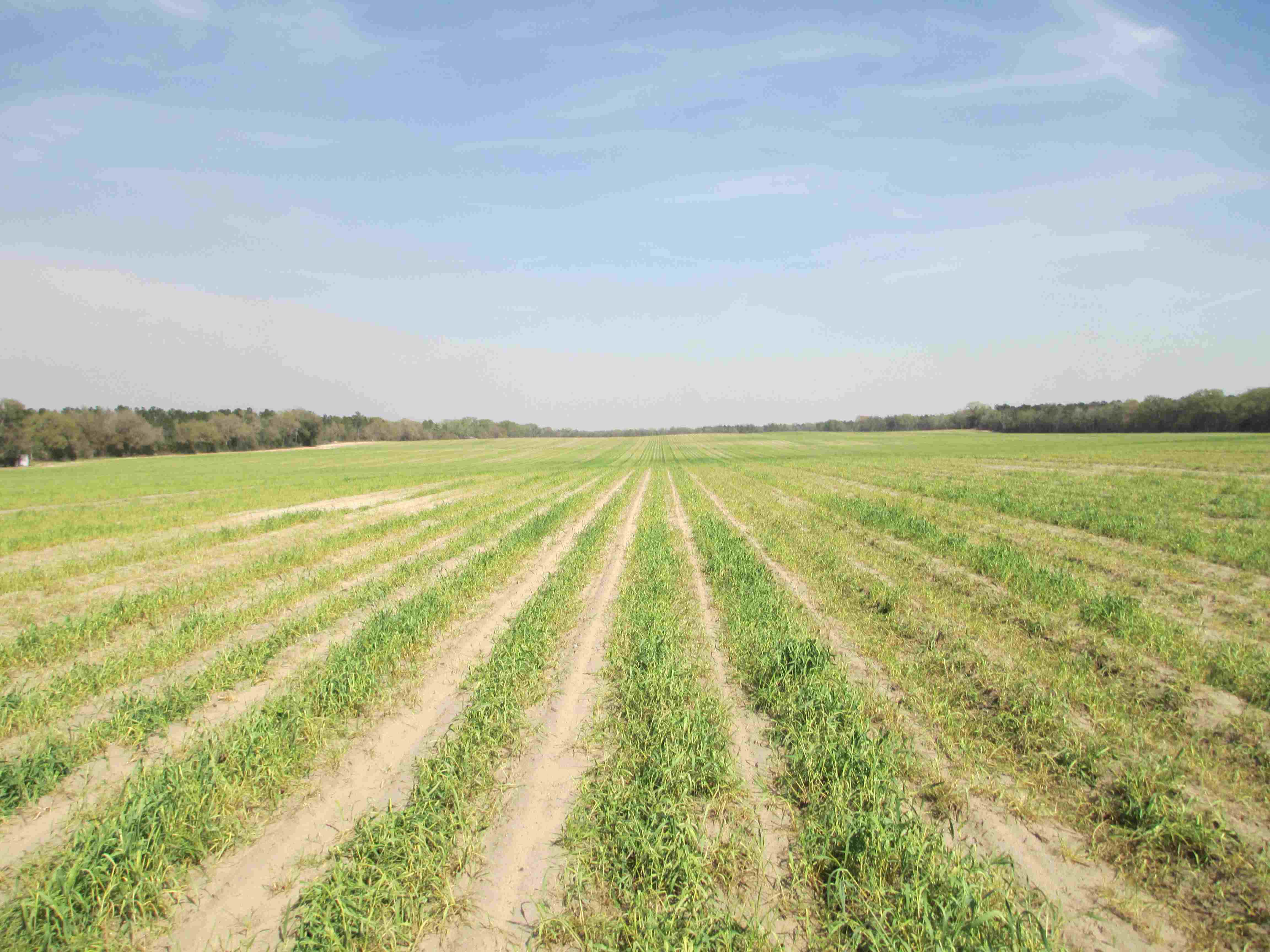 Strip tilled corn just starting to come up near Dellwood, FL. Credit: J. Thompson