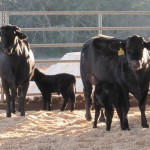 Impact of Selection for Feed Efficiency of Heifers on Future Cow Performance