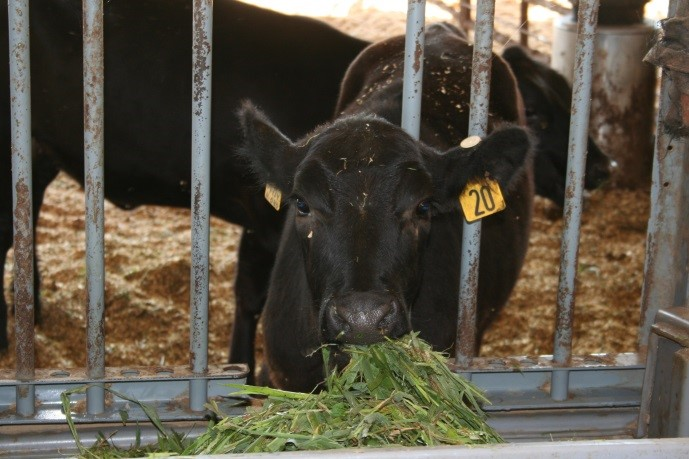Heifers consuming forage in the North Florida Research and Education Center Feed Efficiency Facility