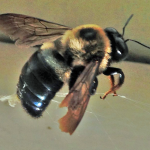 Photo 1 Large Carpenter Bee - Photo by Shep Eubanks