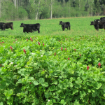 Cattle graze crimson and ball clover in a pasture at Cherokee Ranch, Marianna. Photo credit:  Doug Mayo