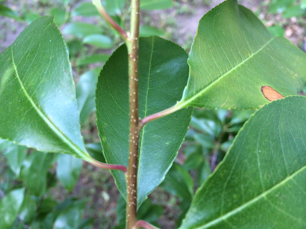 Picture 2.  The white spots on the stem, called lenticels, are a great way to identify cherry.   Photo credit:  Jay Ferrell