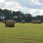 Bahiagrass hayfield in Washington County this past summer.