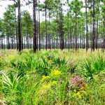 Mature Longleaf Pine habitat.  Photo by Judy Ludlow