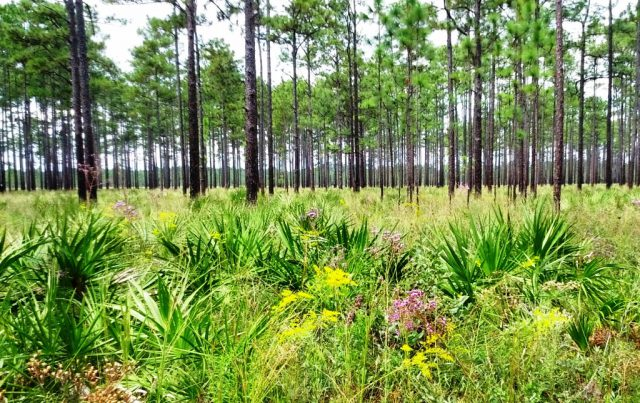 Longleaf Pine Private Landowner Incentive Program – Apply through July 8