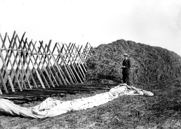 Cowpea&beggarweed hay being stacked 1913