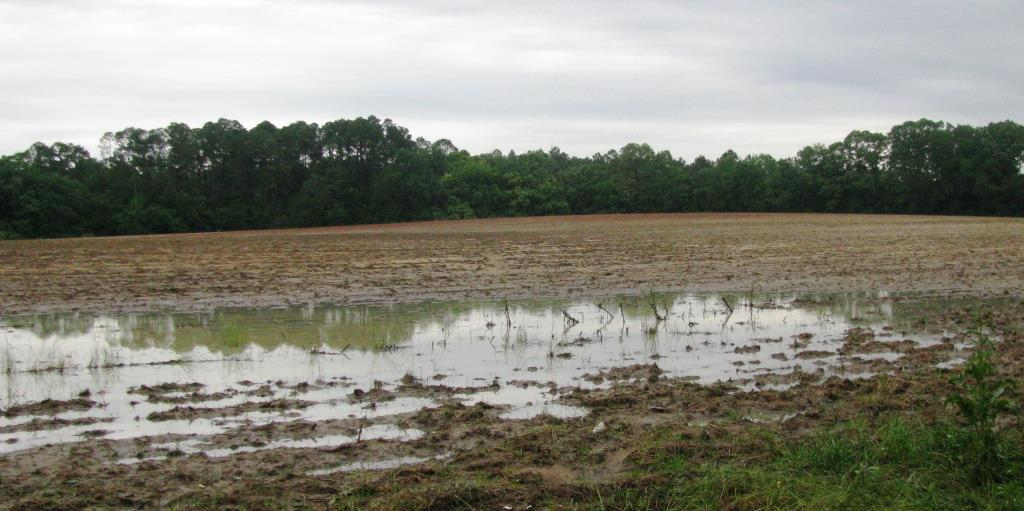 Typical Crop Field Conditions in Holmes County after recent rains
