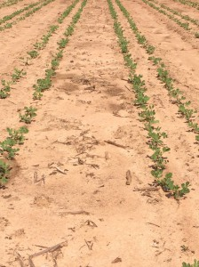 Early May planted peanuts.