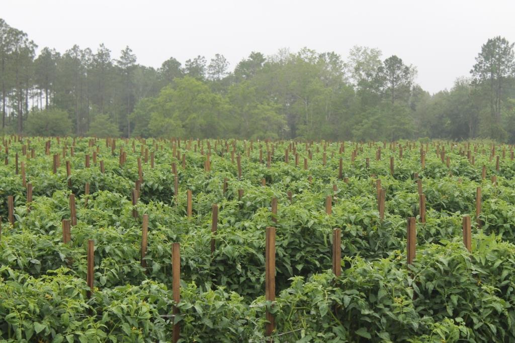 Washington County Florida tomato field, full of healthy growth. Image Credit: Matthew Orwat