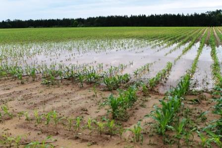 Low areas of fields are especially wet. Fertility will become an issue over time if wet conditions persist.
