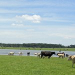 Commercial cattle herd at Bigham Farms, near Malone.