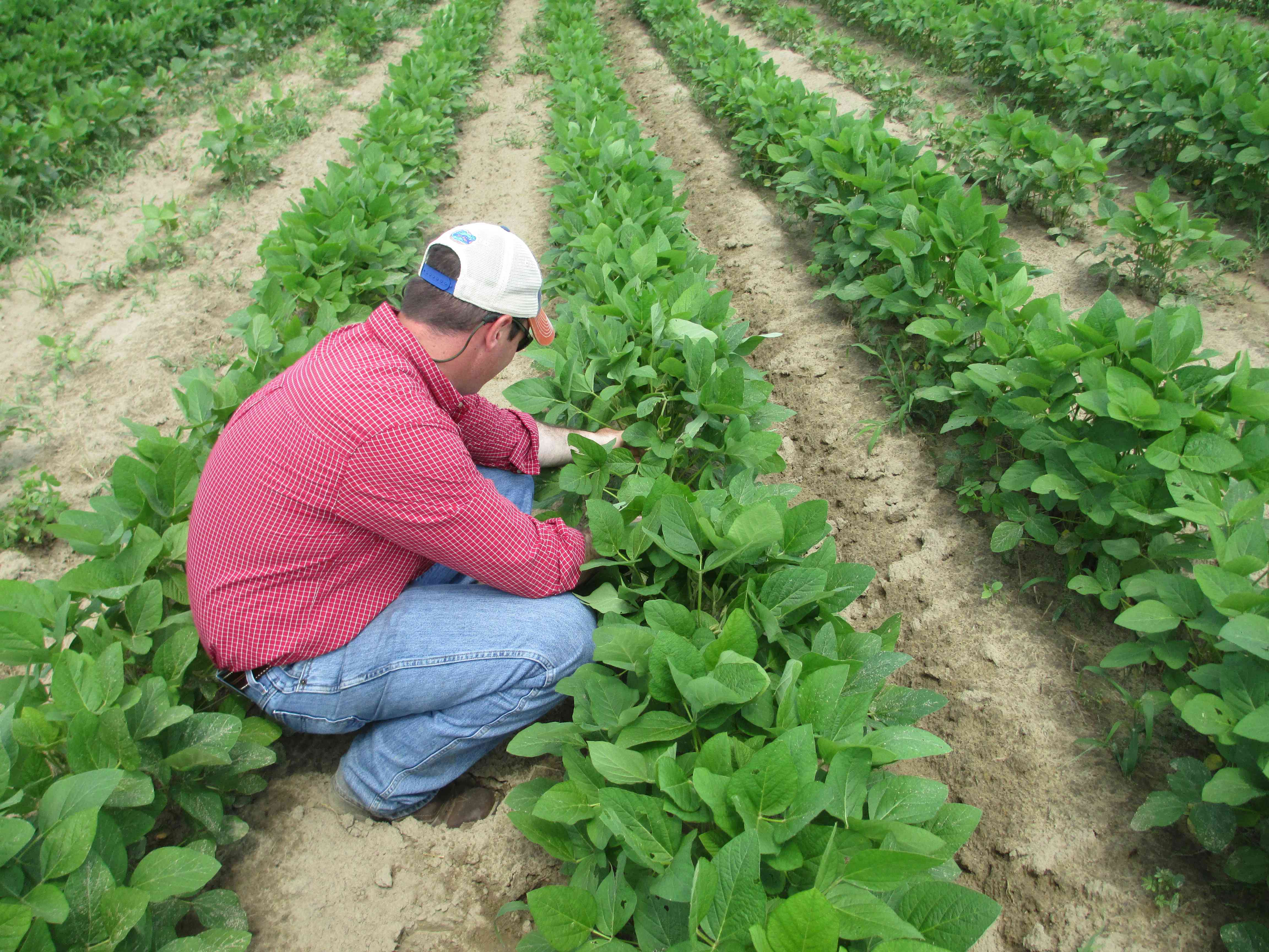 Mark Mauldin, Washington County agent finding beet armyworms and soybean loopers. Photo: Josh Thompson