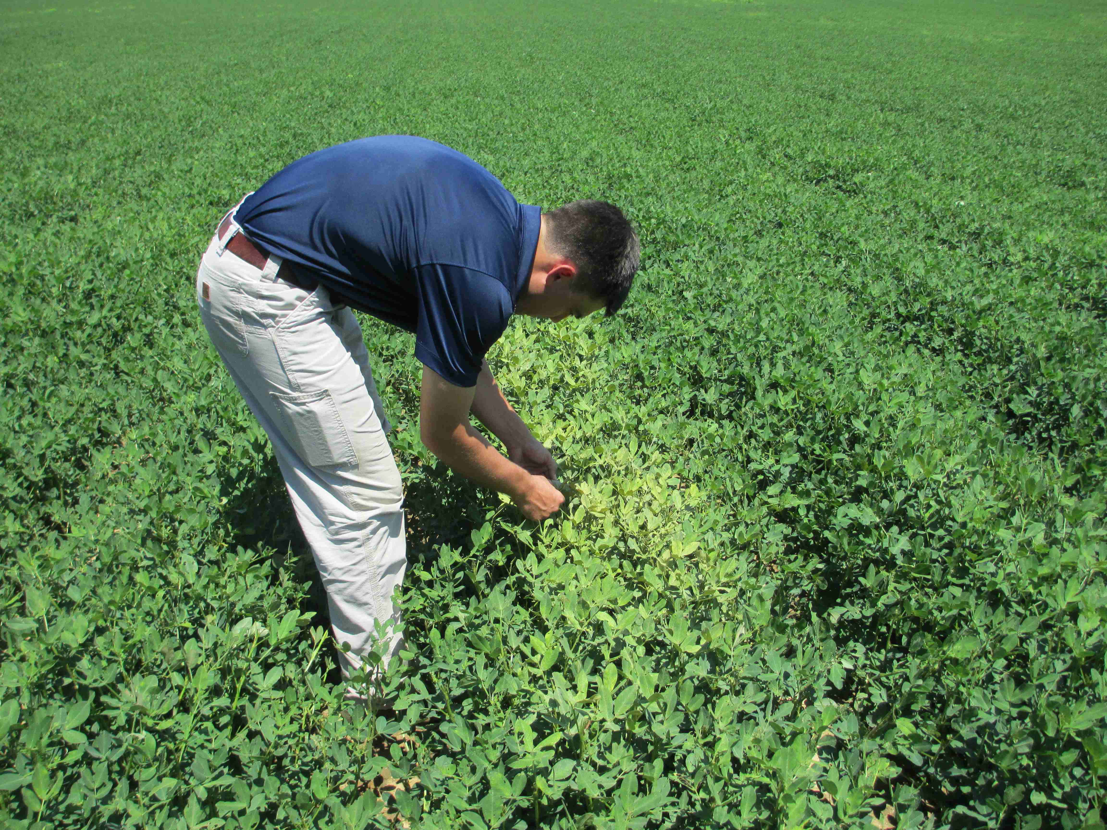 Jordan Toombs identifying spider mites in peanuts. Photo: Josh Thompson